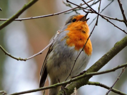 robin singing out loud