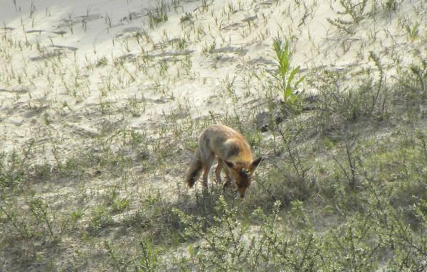 Fox in the dunes