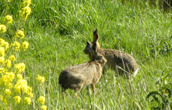 Hares in the polders