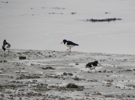 Oystercatchers in the riverbank