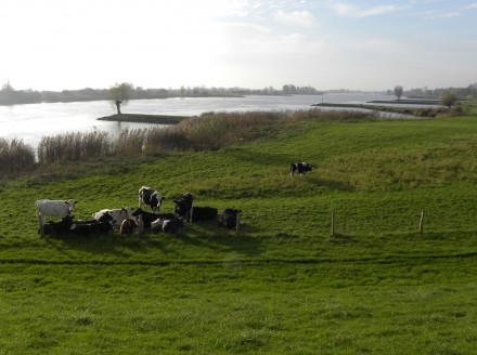 Cows in the floodplains of the river Lek
