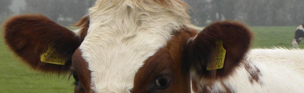 Liebe Kuh