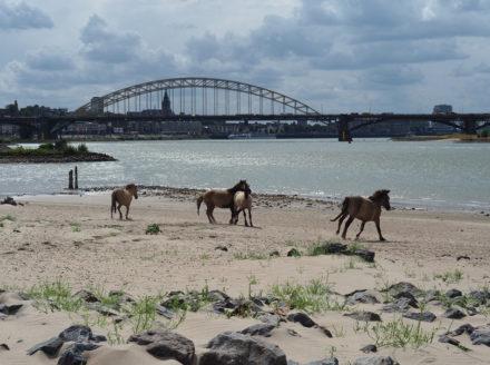 Konikhorses in the Ooijpolder near Nijmegen